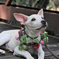 Adopt A Pet :: Jenny - McKinney, TX