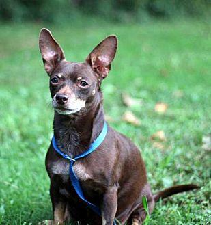 Chihuahua/Dachshund Mix Dog for adoption in Washington, D.C. - CHOCOLATE PRINCESS