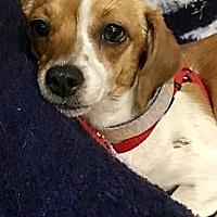 Adopt A Pet :: MIRABELLE - ST LOUIS, MO