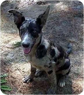 Australian Shepherd/Catahoula Leopard Dog Mix Dog for adoption in Albany, Georgia - Luke