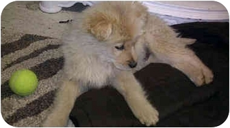 Golden Retriever Mix Puppy for adoption in Knoxville, Tennessee - JD