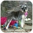 Photo 2 - Schnauzer (Miniature) Dog for adoption in Muldrow, Oklahoma - Dorothy