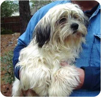 Shih Tzu/Lhasa Apso Mix Puppy for adoption in Duluth, Georgia - Paul (Peter, Paul & Mary)