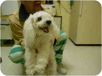 Bichon Frise/Poodle (Miniature) Mix Dog for adoption in Yuba City, California - Bon Bon