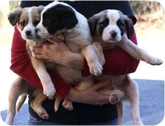 Spaniel (Unknown Type) Mix Puppy for adoption in Marietta, Georgia - Verona