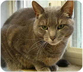 Domestic Shorthair Cat for adoption in Milford, Massachusetts - Luna