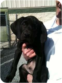 Labrador Retriever Mix Puppy for adoption in Windam, New Hampshire - Moe
