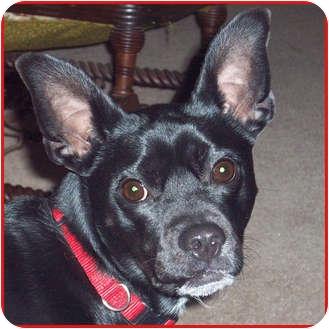 Miniature Pinscher Mix Dog for adoption in Westfield, New York - Jake