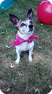 Jack Russell Terrier Dog for adoption in Jackson, Michigan - Firefly- Adopted!!