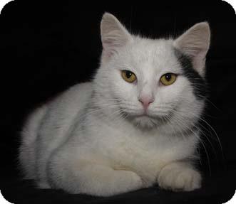 Turkish Van Cat for adoption in Merrifield, Virginia - Pennywise
