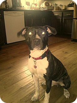 Boxer Mix Dog for adoption in Bellingham, Washington - Dak