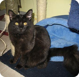 Domestic Mediumhair Kitten for adoption in Shelton, Washington - Kirk