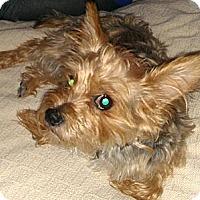 Adopt A Pet :: Scottie - Orange, CA