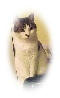 Domestic Shorthair Cat for adoption in Olmsted Falls, Ohio - Dottie