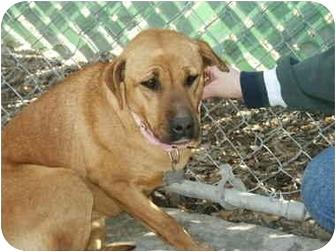 American Pit Bull Terrier/Labrador Retriever Mix Dog for adoption in Mason City, Iowa - Carey