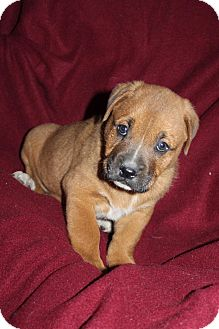 Boxer/Labrador Retriever Mix Puppy for adoption in Mesa, Arizona - OZZY 8 WEEK BOXER LAB MIX MALE