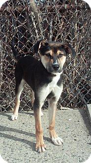 German Shepherd Dog Mix Puppy for adoption in Bronx, New York - Angel
