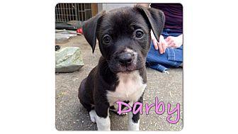 Border Collie/Labrador Retriever Mix Puppy for adoption in Baton Rouge, Louisiana - Darby