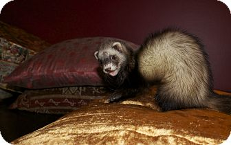 Ferret for adoption in Chantilly, Virginia - Polly