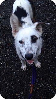 Australian Shepherd Mix Dog for adoption in Bellingham, Washington - Annie