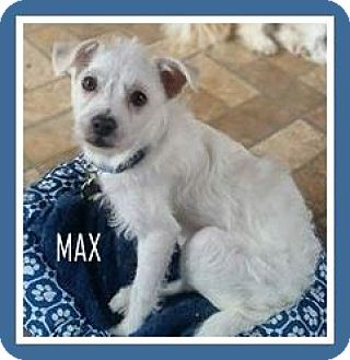 Jack Russell Terrier/Terrier (Unknown Type, Small) Mix Dog for adoption in New Jersey, New Jersey - Bricktown NJ - Max