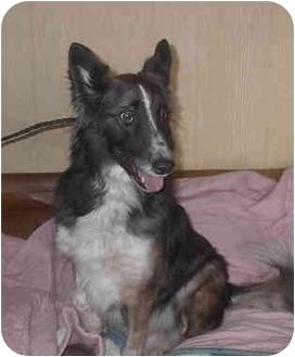 Border Collie/Shepherd (Unknown Type) Mix Dog for adoption in Ortonville, Michigan - Reno