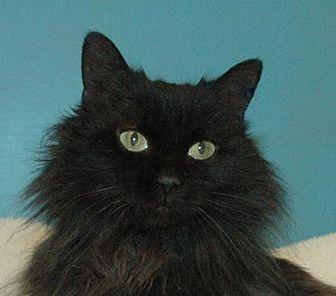Domestic Longhair Cat for adoption in Cincinnati, Ohio - Raven