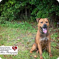 Chow Chow/American Staffordshire Terrier Mix Dog for adoption in North Myrtle Beach, South Carolina - Major