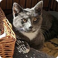 Adopt A Pet :: Solid Gray male kitten - Manasquan, NJ
