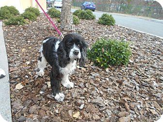 Cocker Spaniel Dog for adoption in Kannapolis, North Carolina - Scarlett -Adopted!