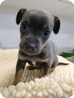 Chihuahua/Dachshund Mix Puppy for adoption in Grants Pass, Oregon - Cleo