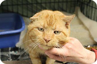 Domestic Shorthair Cat for adoption in Warwick, Rhode Island - Thor