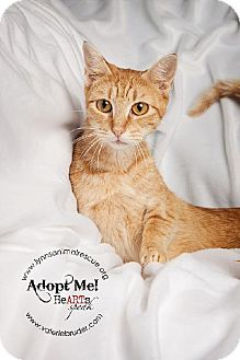 Abyssinian Cat for adoption in Marlton, New Jersey - Annie