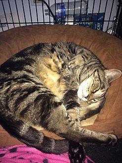 Bengal Cat for adoption in Boca Raton, Florida - Kitty Tang