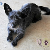 Terrier (Unknown Type, Small) Mix Dog for adoption in Agoura Hills, California - Buttons