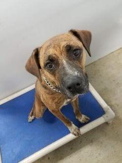 Boxer Mix Dog for adoption in Clay Center, Kansas - Sassy