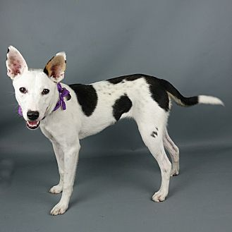 Border Collie Mix Dog for adoption in Columbia, Illinois - Sage