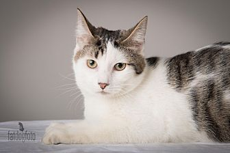 Domestic Shorthair Cat for adoption in Lambertville, New Jersey - Darcy