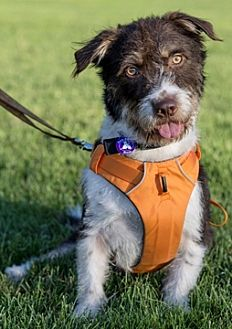 Corgi Mix Dog for adoption in Fremont, California - Snoopy D6717