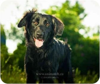 Labrador Retriever/Golden Retriever Mix Puppy for adoption in Ile-Perrot, Quebec - PERCY