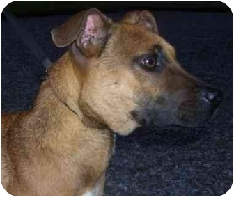 Boxer/Labrador Retriever Mix Dog for adoption in Cleveland, Tennessee - Hounds for the Holidays: India