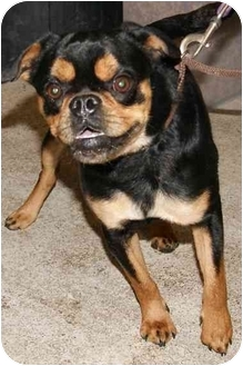 Pug/Jack Russell Terrier Mix Dog for adoption in Auburn, New York - Rocky