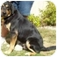 Photo 3 - Rottweiler/German Shepherd Dog Mix Dog for adoption in North Judson, Indiana - Curtis