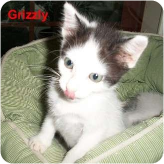 Domestic Shorthair Kitten for adoption in Slidell, Louisiana - Grizzly