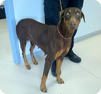 Doberman Pinscher Dog for adoption in killeen, Texas - Reba