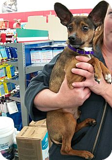 Chihuahua/Miniature Pinscher Mix Dog for adoption in Sterling Heights, Michigan - Buddy