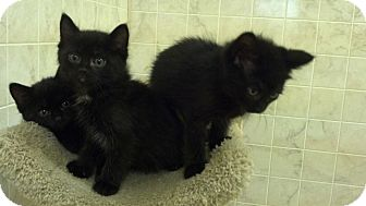Domestic Shorthair Kitten for adoption in Brookings, South Dakota - Cory