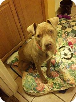 American Pit Bull Terrier Mix Dog for adoption in Lebanon, Maine - Cocoa