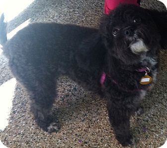 Poodle (Miniature) Mix Dog for adoption in Thousand Oaks, California - Heather
