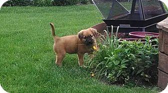 Shepherd (Unknown Type)/Labrador Retriever Mix Puppy for adoption in Hainesville, Illinois - Heidi